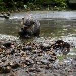 A sea-otter eats a snack on the bank of a small stream.