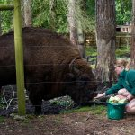 A zoo worker hand-feeds a giant bison through a wire fence.