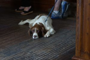 A brown and white dog laying on the floor while the owner holds it's leash.