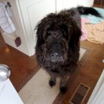 A large shaggy black dog looks at the camera.