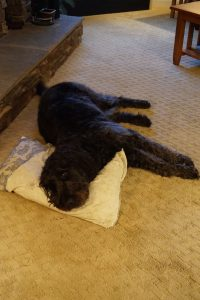 A black shaggy dog lays on a carpet with his head on a pillow.
