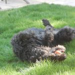 A large black dog lays on his back on the grass with a orange tennis ball in his mouth.