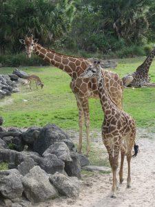 Two lage giraffes graze in a field.