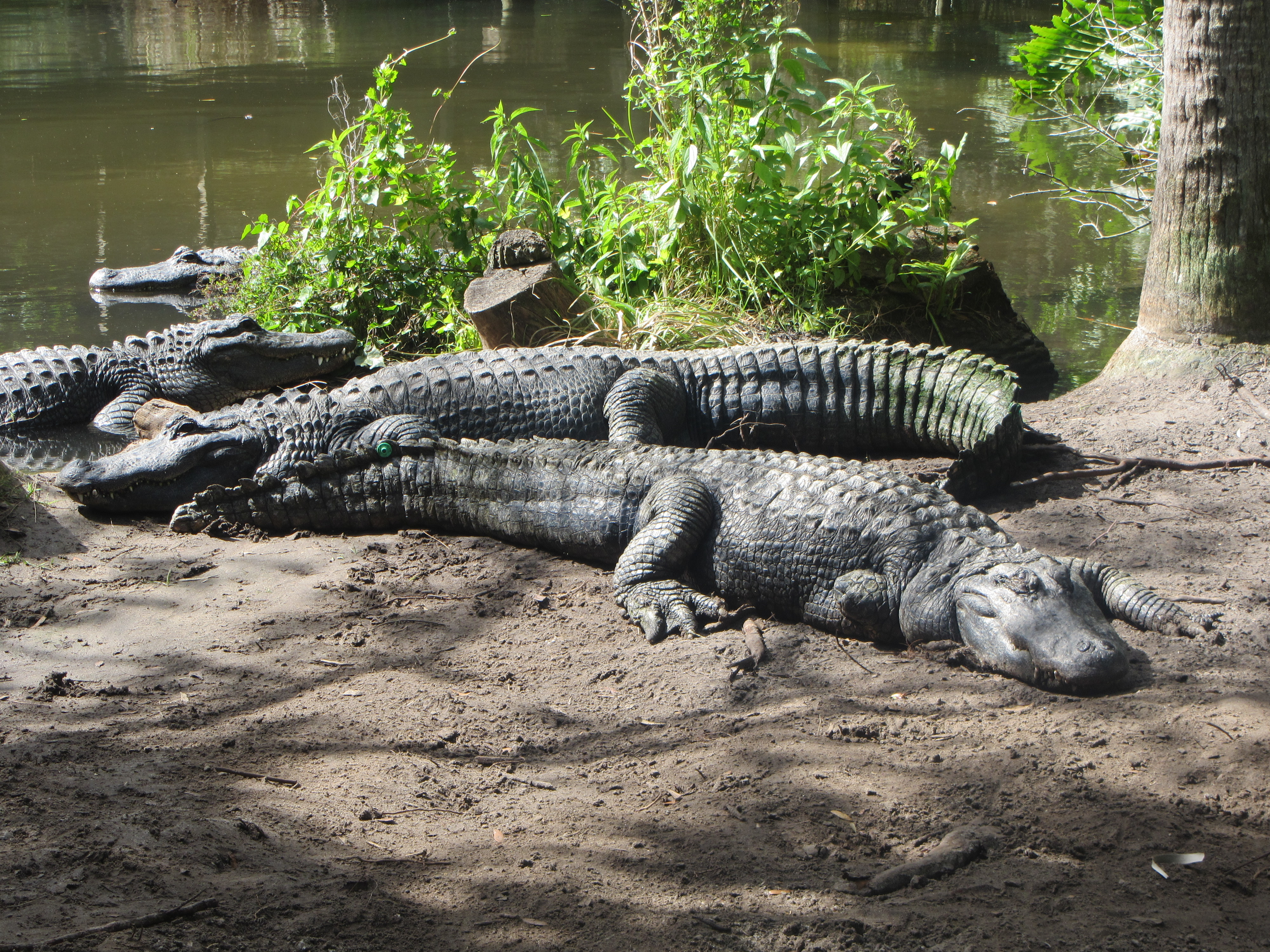 A group of three large alligators lazing on the muddy bank of a river.