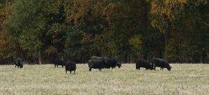 A group of black sheep grazing in a field