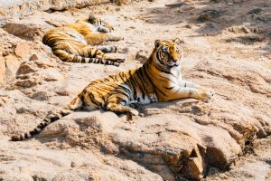 A lone tiger lounges on a dusty rock.