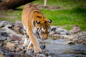 Safari in India: A lone tiger walks through a small creek